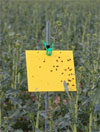 Pollen Beetle Trap